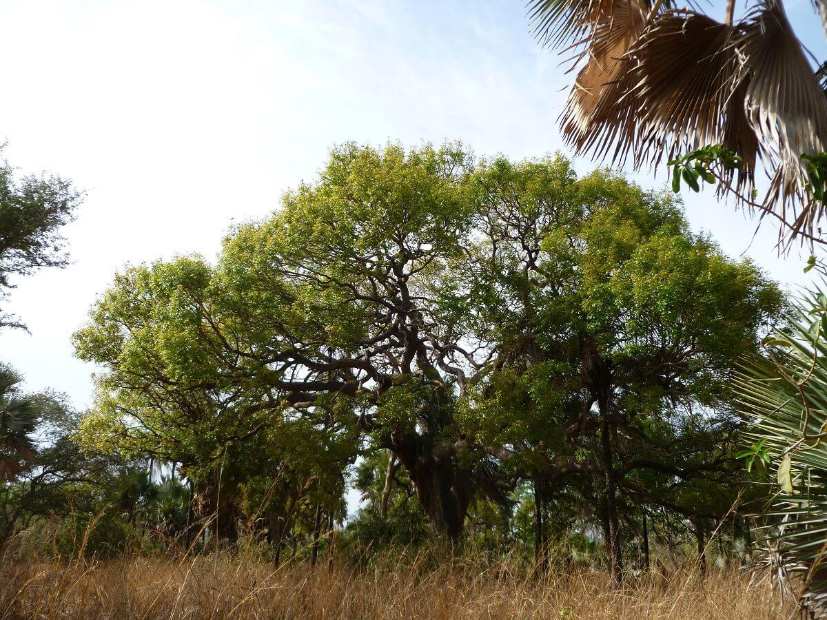 Mahagonibäume  Nah-Buteh (Englisch)